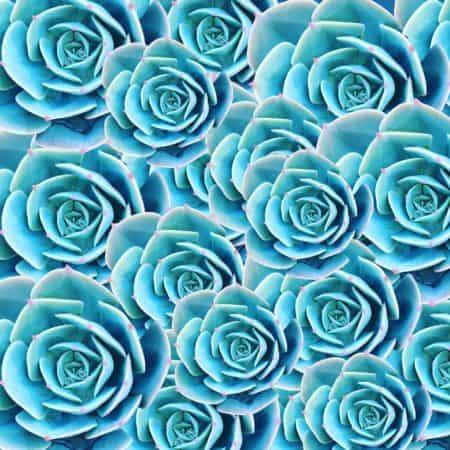 Blue Mutli Succulent